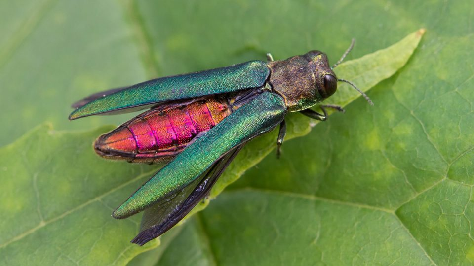 Know your invasives: Emerald Ash Borer