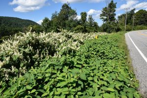 War of the Worlds: Imported insects battle invasive plants
